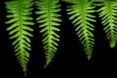 leaves för fern fyra Royaltyfria Bilder