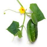 leaves för gurkablommagreen arkivfoto