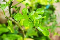 leaves för kaffir för bakgrundsmat kalkar ingredienser isolerade thai white Royaltyfri Bild