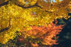 leaves för leaf för bilobafokusginkgo blir grund arkivbild