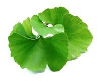 leaves för leaf för bilobafokusginkgo blir grund royaltyfri foto