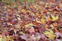 2008 leaves för leaf för dunge för torr fall för lufthöst guld- nära oaken oktober russia vänder som spolar yellow Royaltyfria Bilder