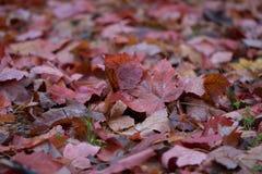 2008 leaves för leaf för dunge för torr fall för lufthöst guld- nära oaken oktober russia vänder som spolar yellow Arkivfoton
