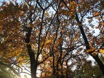 2008 leaves för leaf för dunge för torr fall för lufthöst guld- nära oaken oktober russia vänder som spolar yellow Arkivbilder