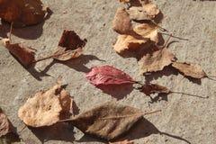 leaves för leafs för höstbakgrund färgrika torra Royaltyfria Bilder