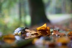 leaves för leafs för höstbakgrund färgrika torra Arkivbild