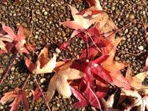 leaves för leafs för höstbakgrund färgrika torra Royaltyfri Fotografi