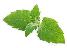 Leaves för ny mint royaltyfri fotografi