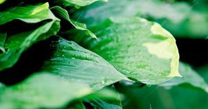 leaves för svarta droppar för bakgrund rain nya gröna isolerade lager videofilmer