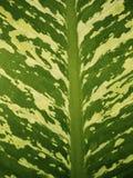 leaves f?r acaciabakgrundsgreen royaltyfri bild