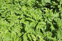 leaves f?r acaciabakgrundsgreen royaltyfria foton