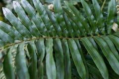 leaves f?r acaciabakgrundsgreen Naturlig tropisk l?vverk f?r djungel f?r bakgrundsnaturskog royaltyfri fotografi