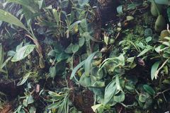 leaves f?r acaciabakgrundsgreen Naturlig tropisk l?vverk f?r djungel f?r bakgrundsnaturskog arkivfoton