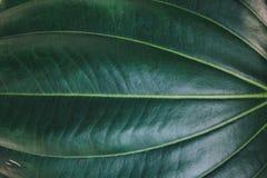 leaves f?r acaciabakgrundsgreen Naturlig tropisk l?vverk f?r djungel f?r bakgrundsnaturskog royaltyfria foton