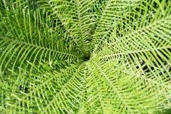 leaves f?r acaciabakgrundsgreen Naturlig tropisk l?vverk f?r djungel f?r bakgrundsnaturskog arkivbilder