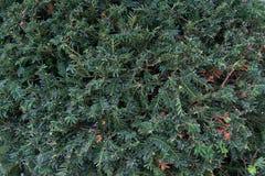 leaves f?r acaciabakgrundsgreen Naturlig tropisk l?vverk f?r djungel f?r bakgrundsnaturskog royaltyfria bilder