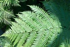 leaves f?r acaciabakgrundsgreen Naturlig tropisk l?vverk f?r djungel f?r bakgrundsnaturskog fotografering för bildbyråer