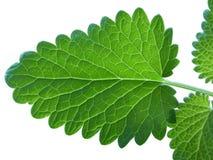 Leaves f?r ny mint som isoleras p? vit bakgrund arkivfoto
