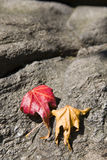 Leaves in the fall. Fall is setting in and the leaves are turning color royalty free stock photography