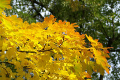 Leaves in fall. Colorfull leaves in a park during the fall Royalty Free Stock Photography