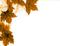 Leaves of Fall. Beautiful leaves line corners of this image on white Stock Photos