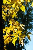 Leaves in Fall Royalty Free Stock Photography