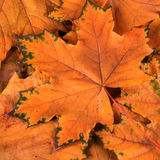 Leaves in fall Stock Images