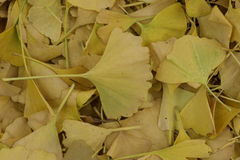 Leaves, Fall colors Royalty Free Stock Image