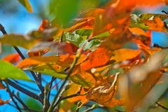 Leaves with FALL colors - Orange Yellow.  Royalty Free Stock Photo