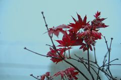 Leaves with FALL colors - Red - Fog.  Stock Photo
