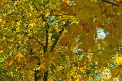 Leaves with FALL colors - Yellow.  Stock Photos