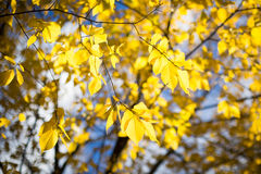 Leaves in Fall. Half of the trees along the road turned yellow when fall came Royalty Free Stock Photo