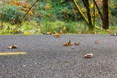 Leaves on fall path. Leaves sitting on fall path with maple trees overhead Royalty Free Stock Images