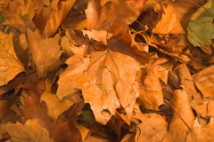 Leaves during fall season Stock Photography