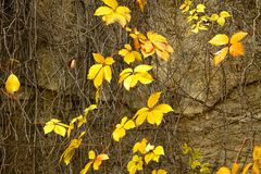 Leaves in fall season. Yellow leaves in fall season Royalty Free Stock Photos