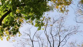 Leaves fall from the tree. Blue sky stock footage