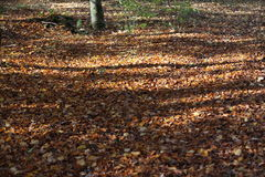 Leaves. Fallen leaves in autumn forest Royalty Free Stock Photo
