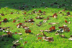 Leaves fallen on grass field. Autumn leaves fallen on green grass field make a contrast Stock Image