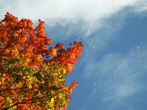 Leaves falling from autumn tree. Maple leaves falling from autumn coloured tree on a windy day Royalty Free Stock Photos