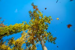 Leaves falling down out of clear blue sky stock image