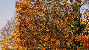 Leaves Falling From Fall Trees. Trees with warm fall colors in a gentle breeze stock video