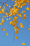 Leaves Falling From Ginkgo Tree Stock Photo
