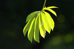 Leaves fan Royalty Free Stock Images