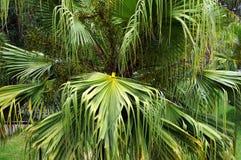 Leaves of fan palm Livistona. Royalty Free Stock Image