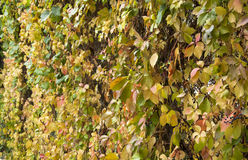 Leaves on the fence in autumn Royalty Free Stock Images