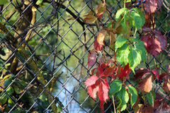 Leaves on the Fence. Colored leaves adorn the fence in Julia Davis Park in Boise, Idaho Stock Images