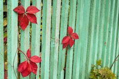 Leaves in the fence stock image