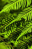 Leaves of the fern Royalty Free Stock Photos