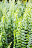 Leaves of fern Royalty Free Stock Photos