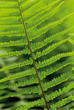 Leaves of fern Stock Photo